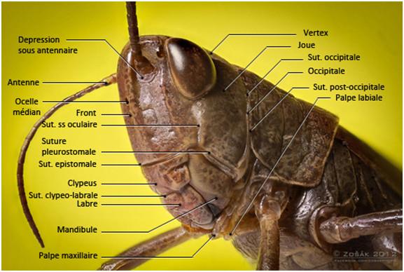 Figure 25 : Photo d'une tête d'Orthoptère Acridien montrant les sutures et régions crâniennes © entomoLOGIC (photo : http://www.deviantart.com)
