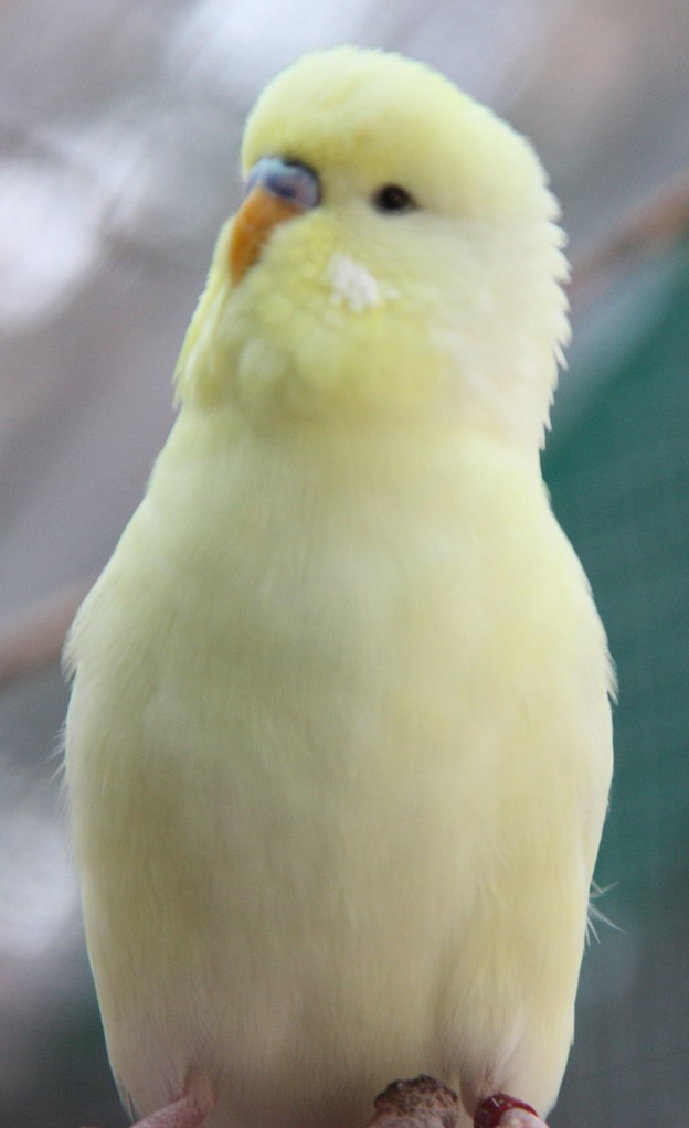 Lemon beim Balzen