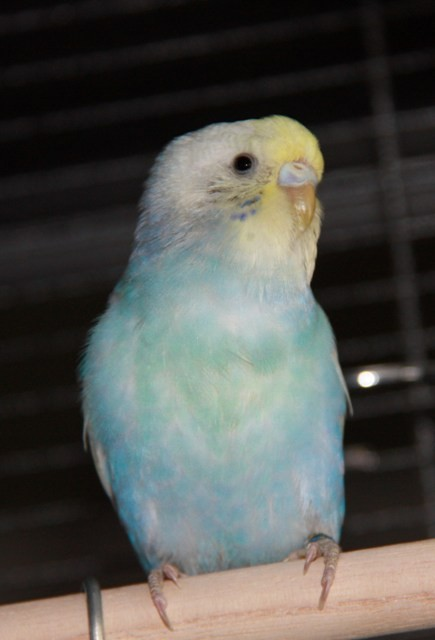Angel ist am 30.4.2011 in Schleswig geschlüpft. Sie ist eine Rainbowhenne in dunkelblau mit EGG.