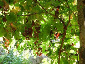 les vignes au château-fort médiéval deTennessus