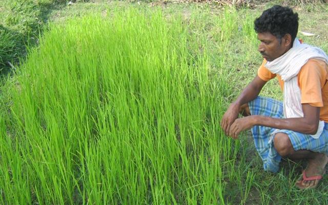 En attente de la parcelle de réplication-plants de paddy