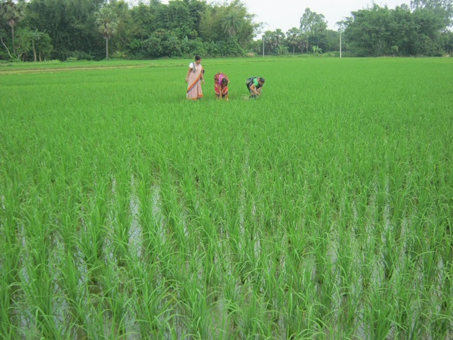 Des formateurs sur le terrain visitent la parcelle de réplication de riz paddy