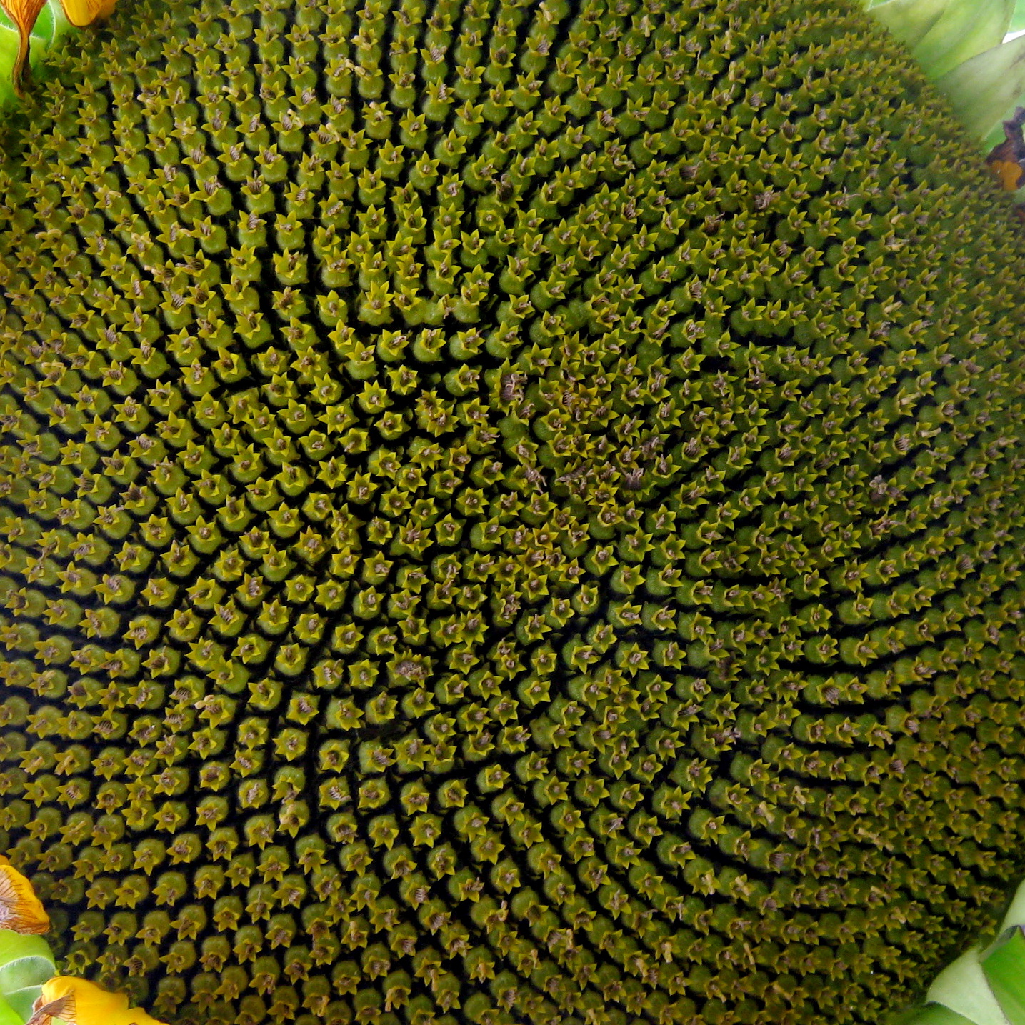 Sonnenblumen-Zentrum