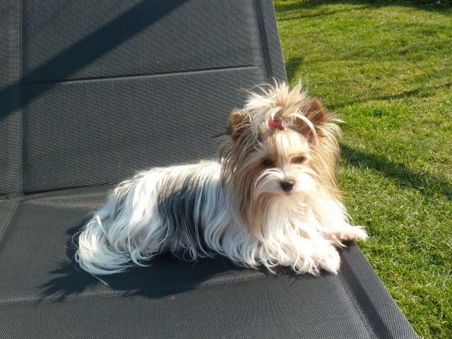 Onze Biewer Yorkshire Terriers Gucci Lilla Mango Cira Biewer