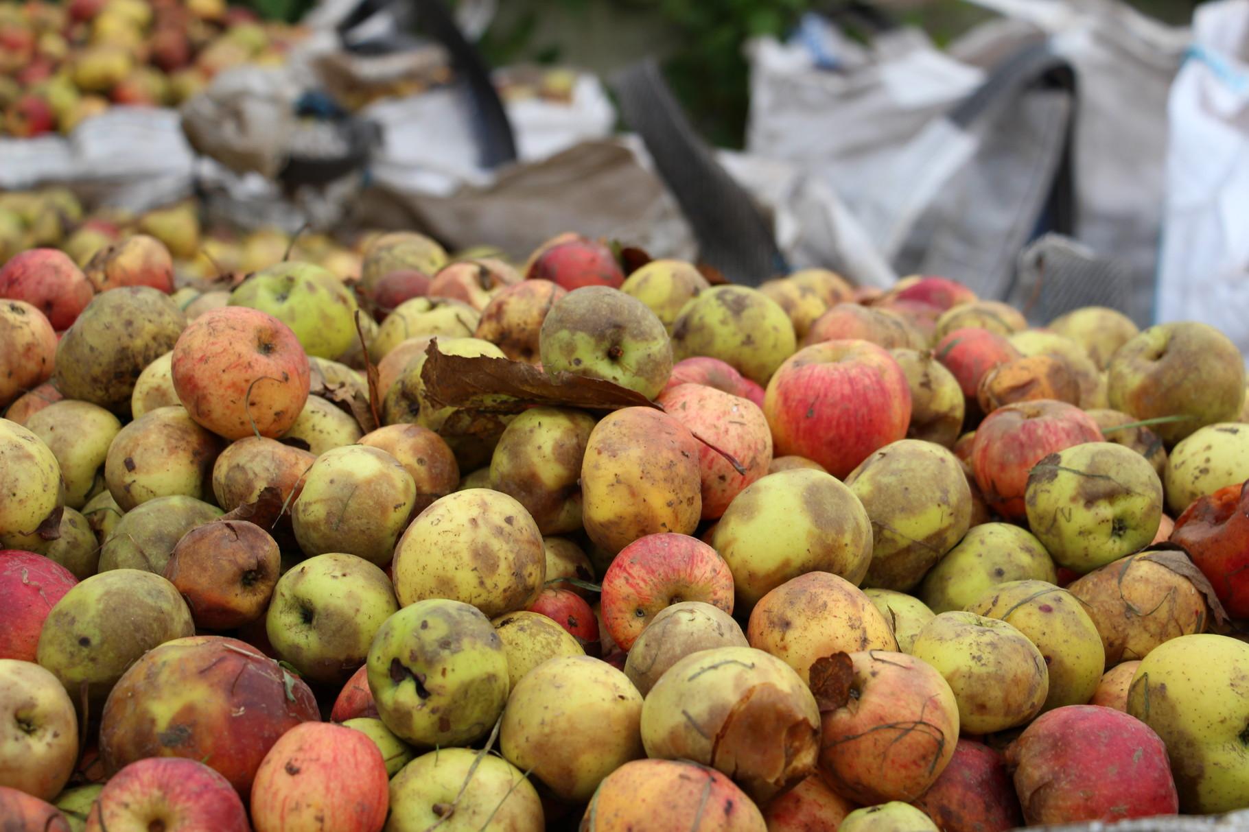 Etape 1 & 2: Récolte et stockage des pommes.