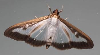 le papillon adulte
