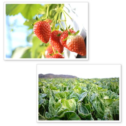 ふるさと 生搾りジュースの材料 国産 野菜 果物 いちご キャベツ 農家 地域おこし フランチャイズ