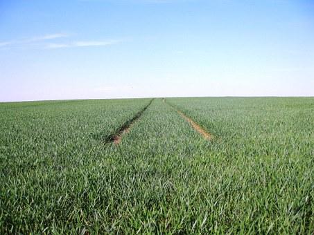 Monokultur Weizen