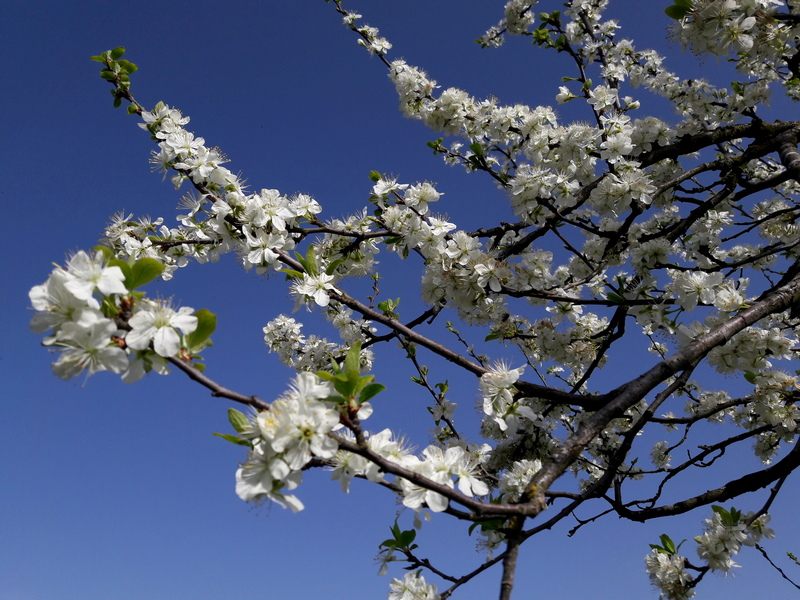 Apfelblühte am Kaiserstuhl