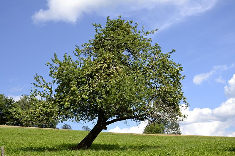 Most-Apfelbaum