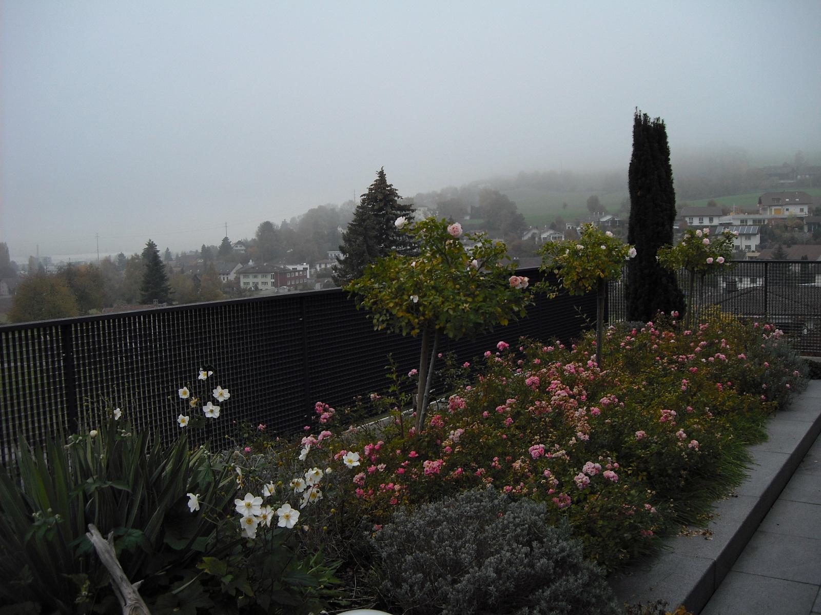 Nov-5 / Immer noch blühende Rosen
