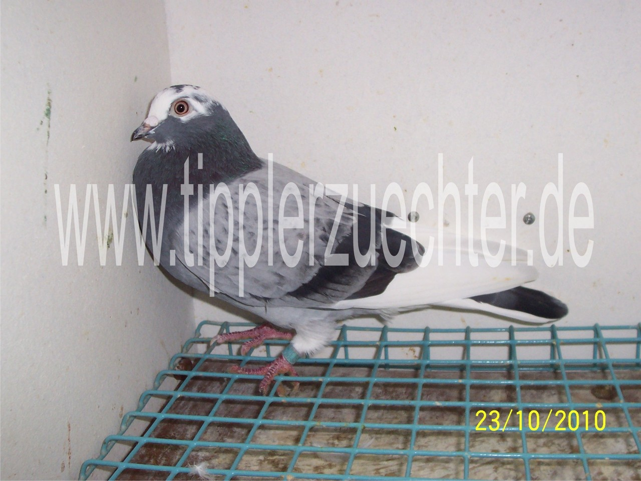 Pigeon from R. Kadija - Son of blue-badge NTU-255-92