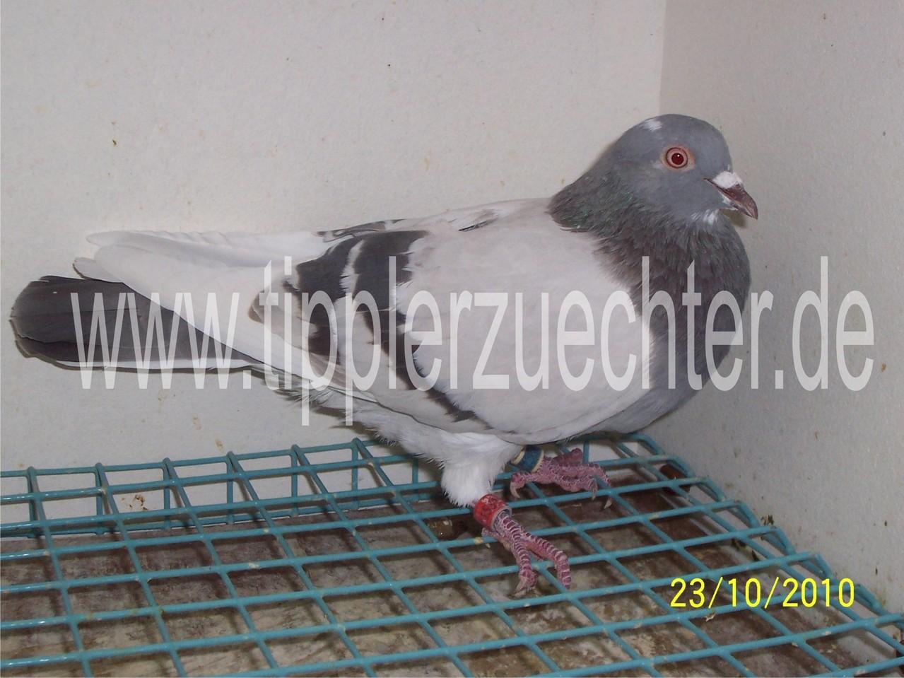 Pigeon from R. Kadija - Son of silver-badge NTU-2376-00