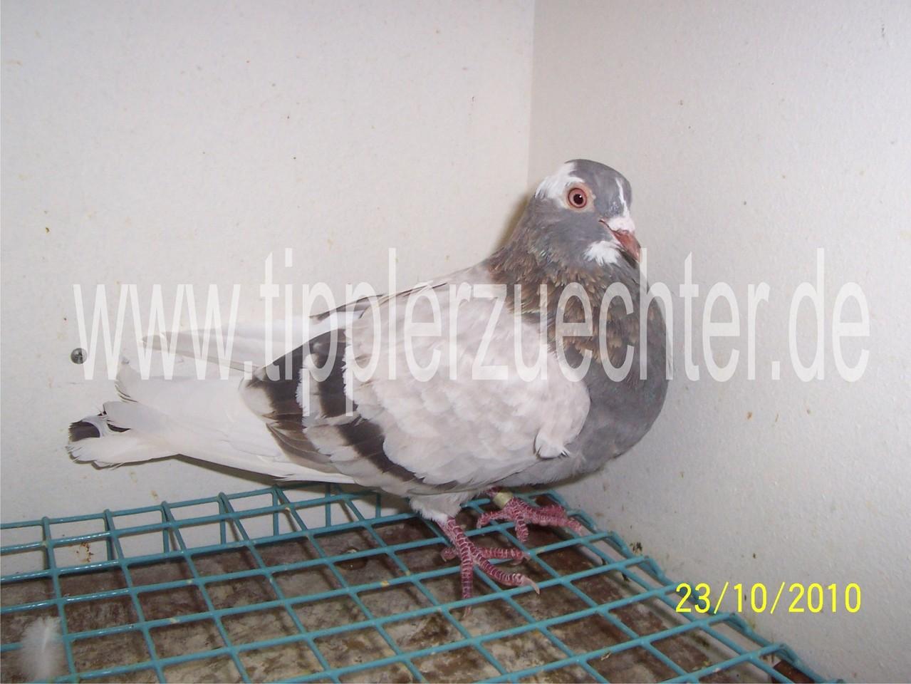 Pigeon from R. Kadija - Daughter of blue-badge NTU-255-92