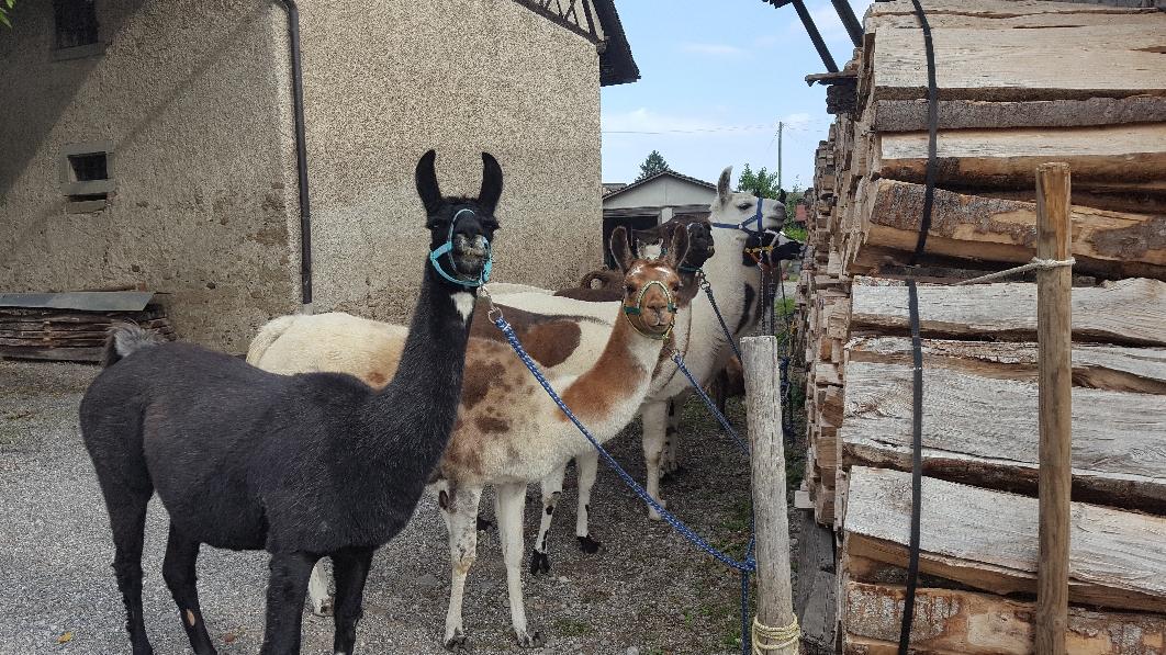 Lamas bereit fürs Trekking