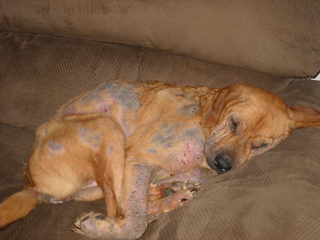 Von Räude befallener Hund (Wikipedia)
