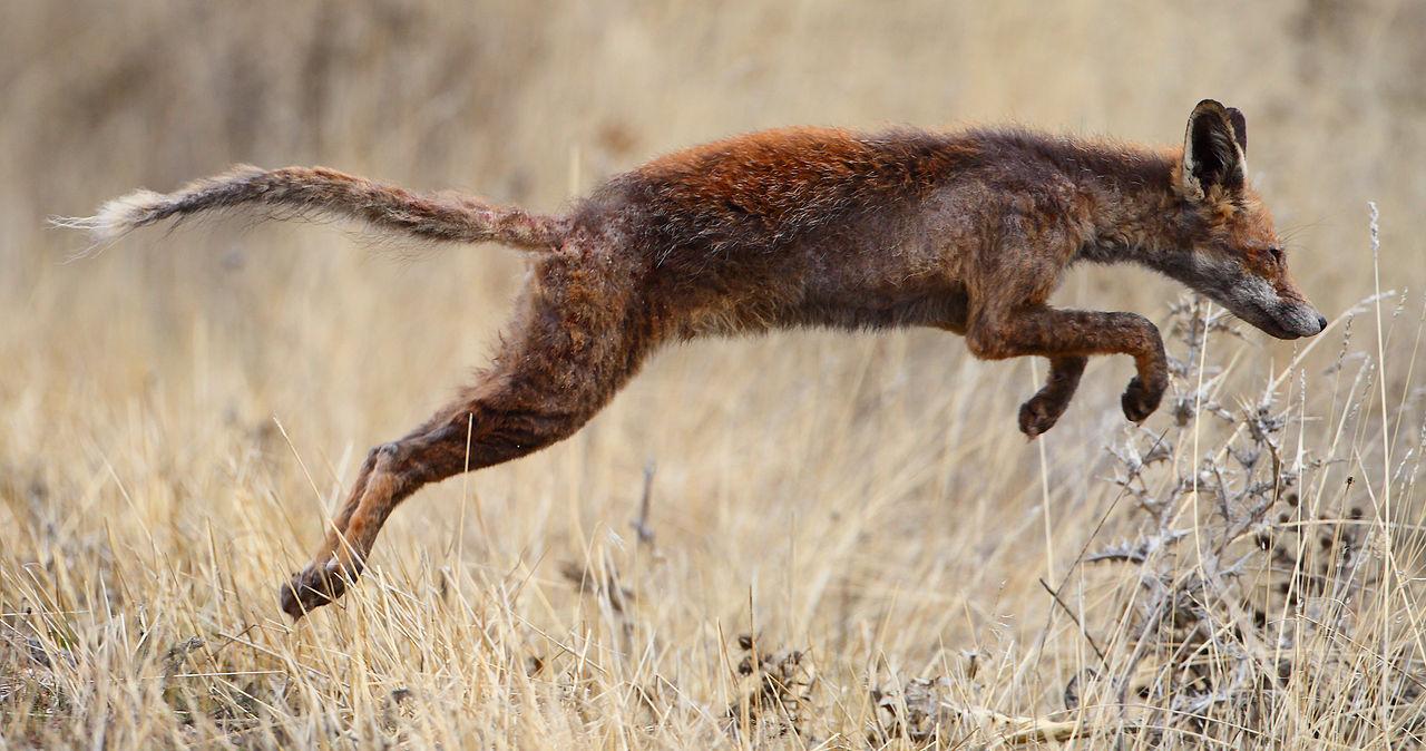 Von Räude befallener Rotfuchs (Wikipedia)