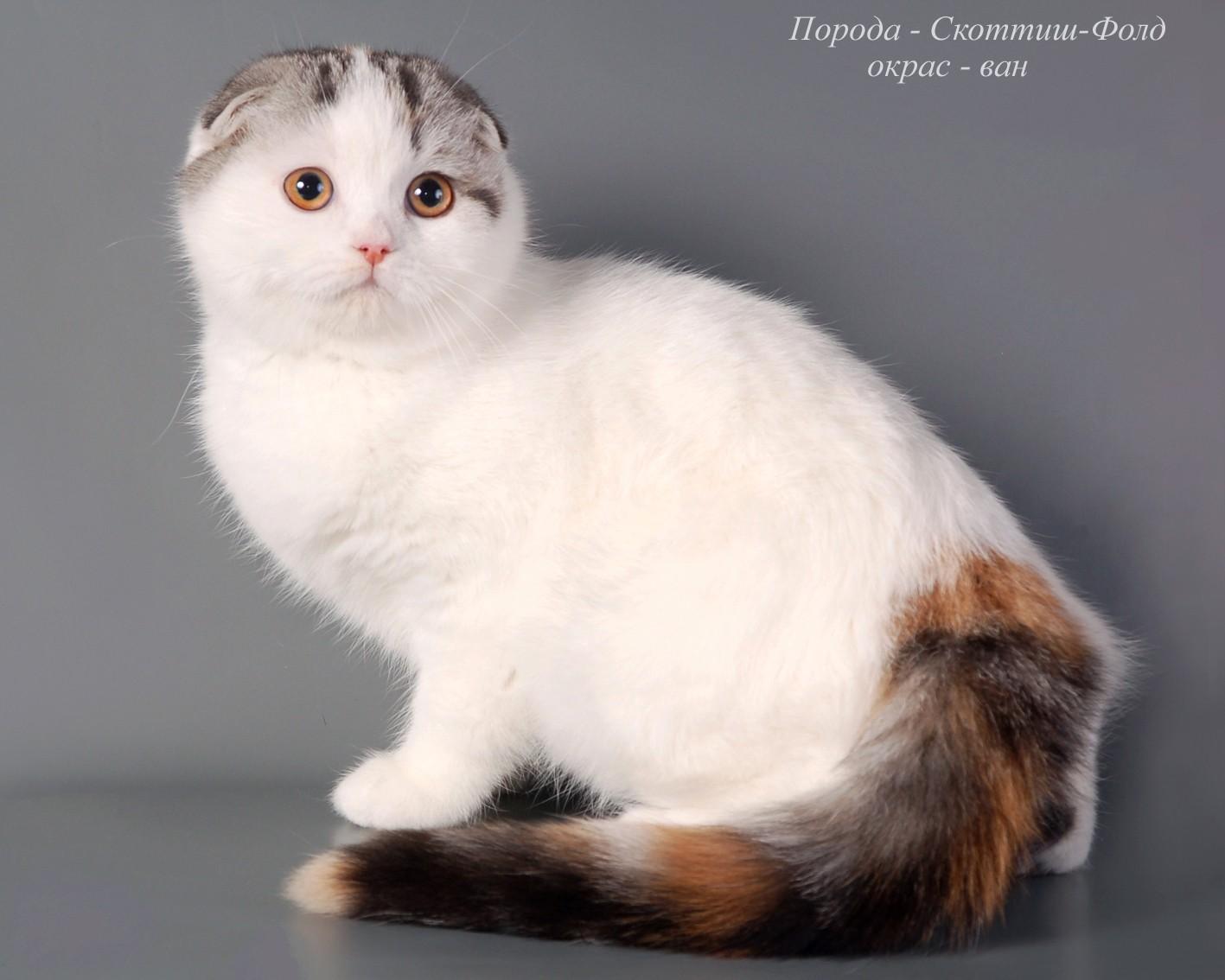 изящной гладкошерстной окрасы кошек с фото и названиями поделки модное направление