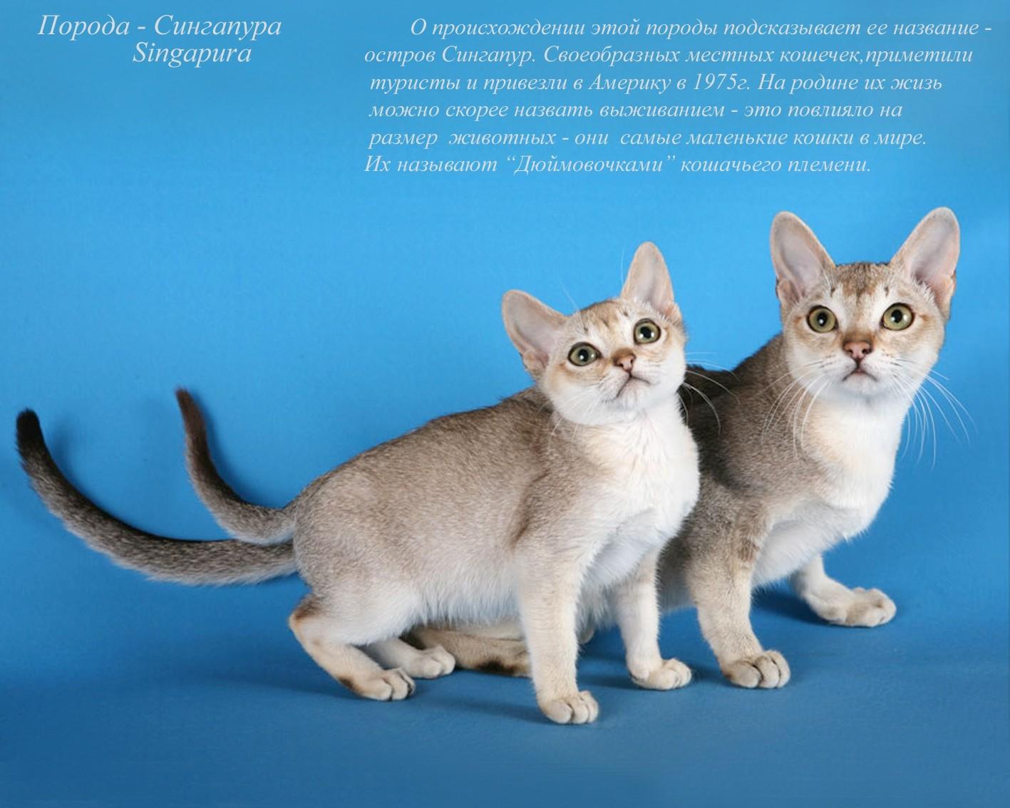 Коты и их породы в картинках