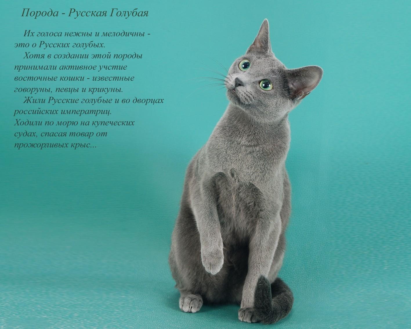 Русские породы кошек в картинках с названиями