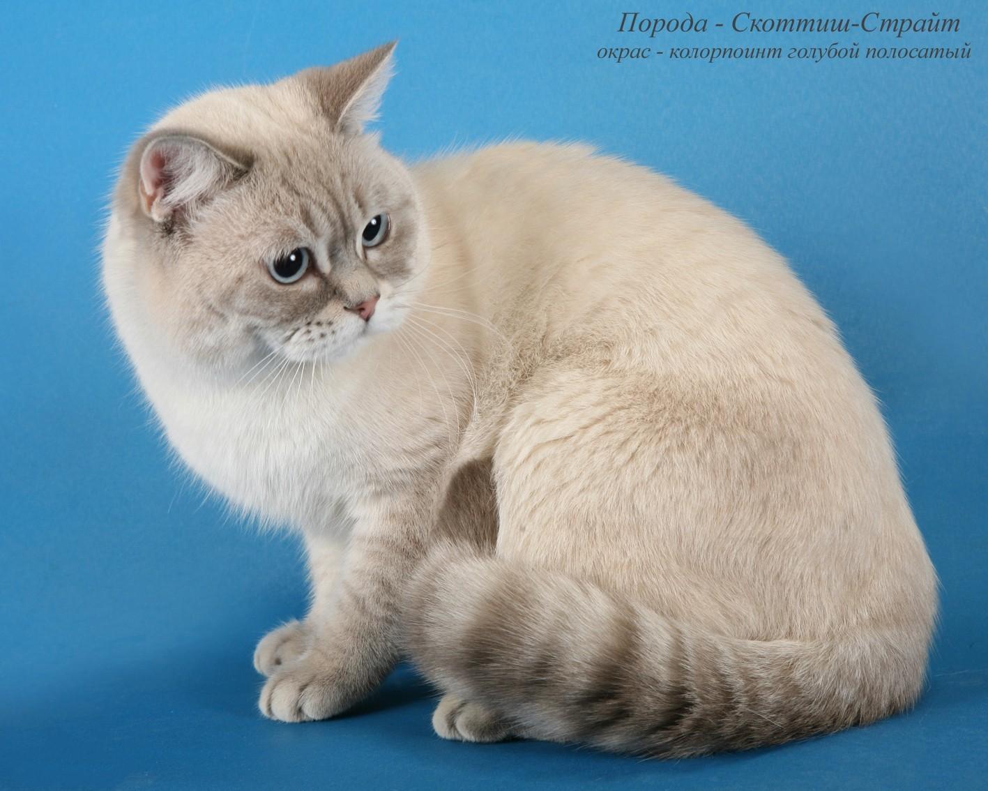 окрасы шотландских кошек картинки и название деле это так
