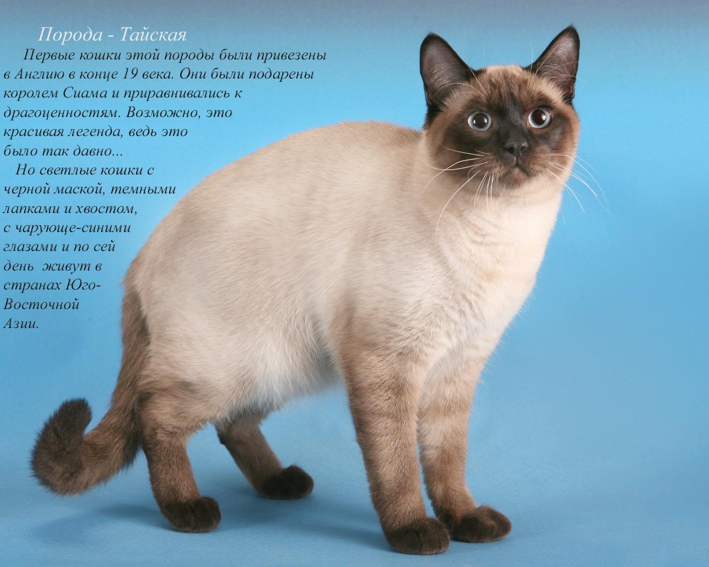 Картинки кошек породы и названия