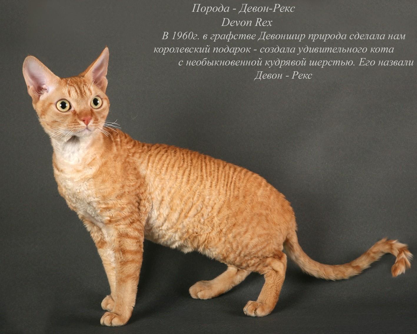 Картинки и название всех пород котов