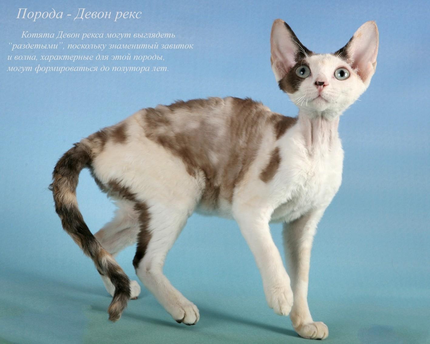 другие легенды, фото и название пород кошек всех домашних породистых это или одна