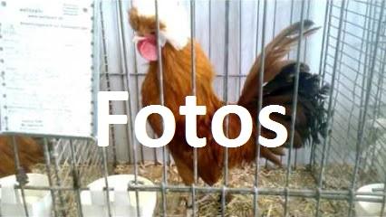 Fotos- Rasse-Hühner auf Ausstellungen