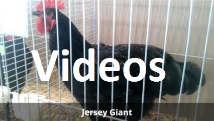 Videos - Rasse-Hühner auf Ausstellungen