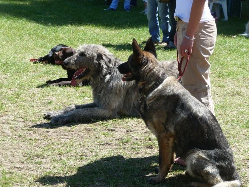 Les chiens attendent tranquillement leur tour, avec ou sans leur maître. Au 1er plan, un Berger Allemand gris, puis un Irish Wolfhund, un Labrador chocolat et un Flat Coat