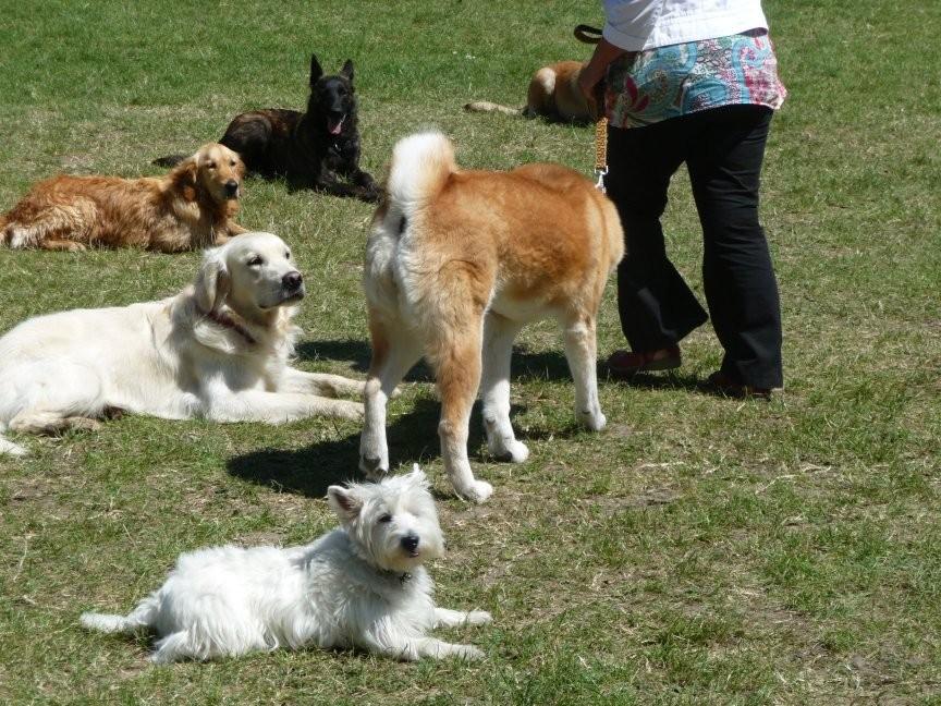 """Même sans la présence du maître (les chiens sont laissés avec un """"Pas bouger""""), une équipe maître-chien peut faire un slalom au milieu des autres"""
