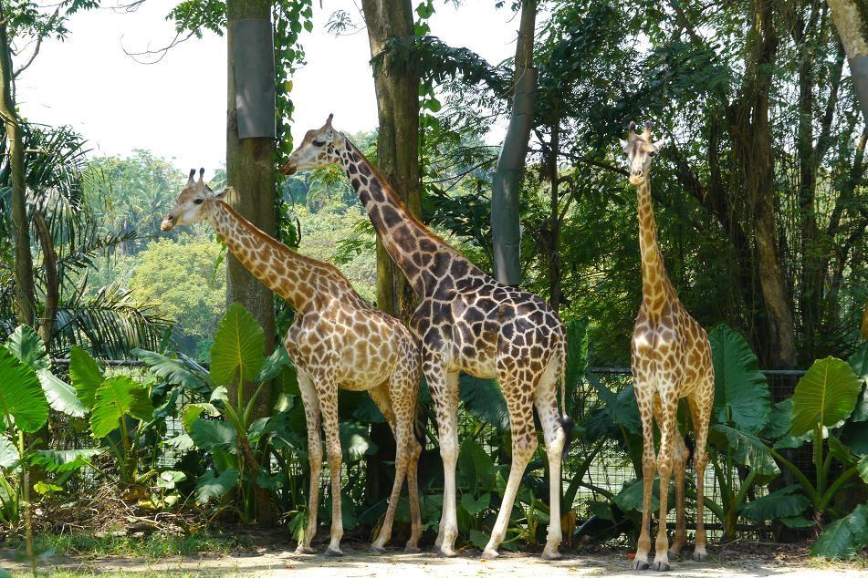 キリンはやっぱり背が高かった。
