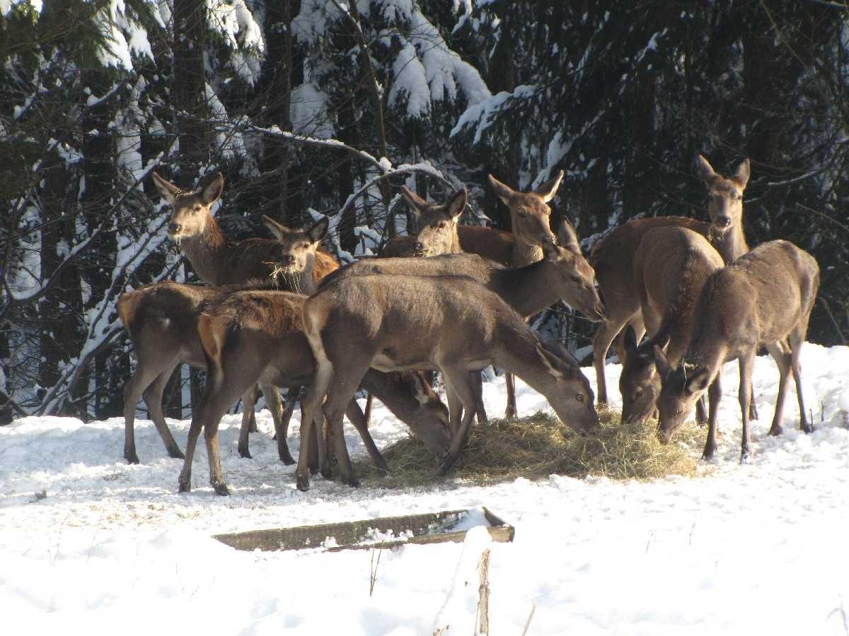 Wildfütterung in Drei Annen Hohne