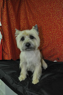 Cairn terrier canicoiff toilettage
