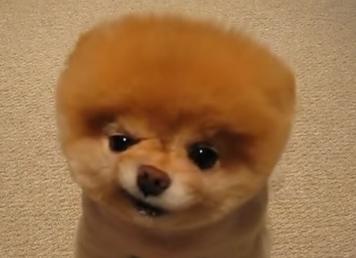 ぶさかわなポメラニアン子犬動画 , みゃおくん