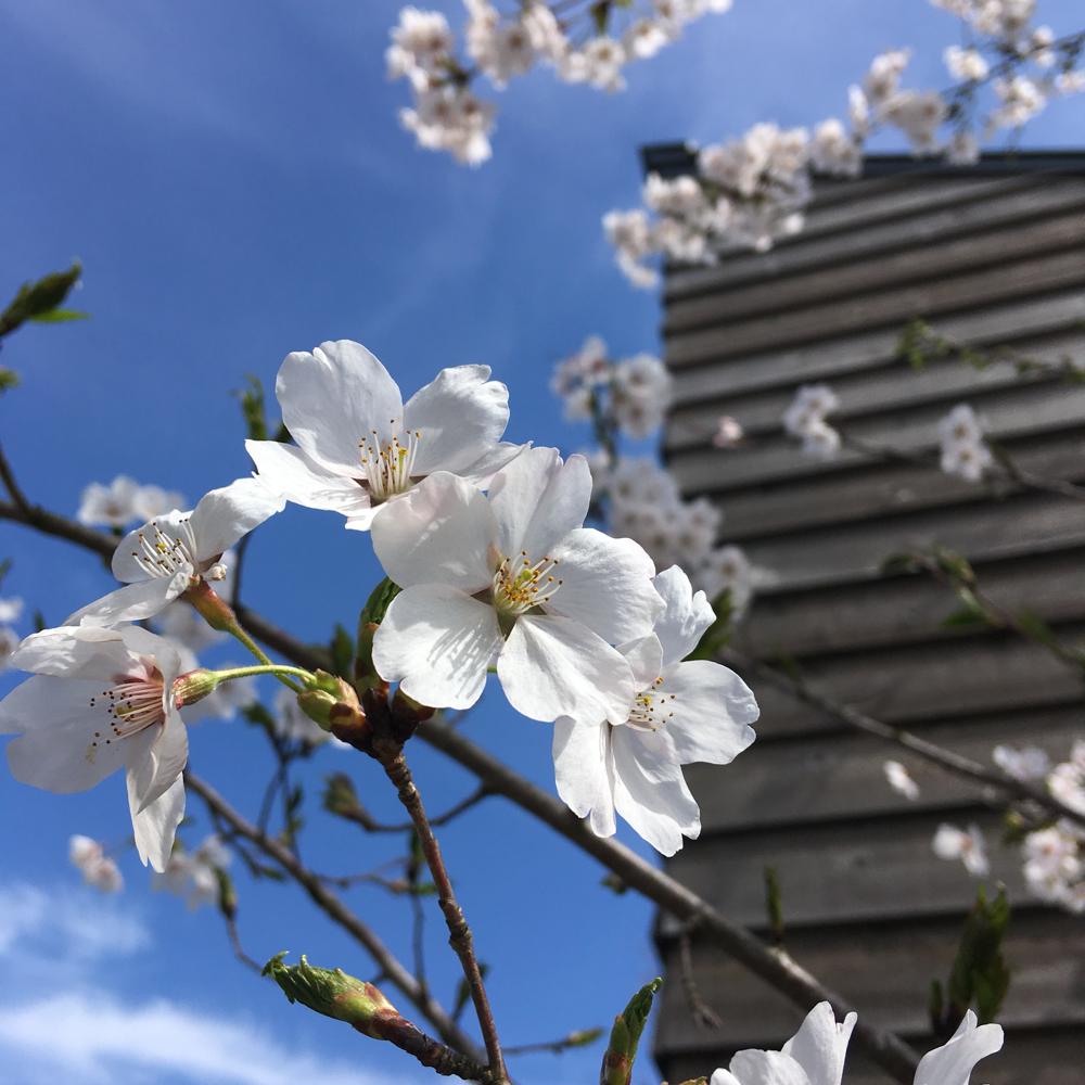 桜の開花で春が来たと実感できます。