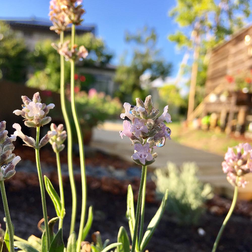 ラベンダーは幾つか種類が植えてあります。白いラベンダーのお花も素敵です。