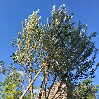 ハーブガーデンのシンボルツリー、オリーブの木。
