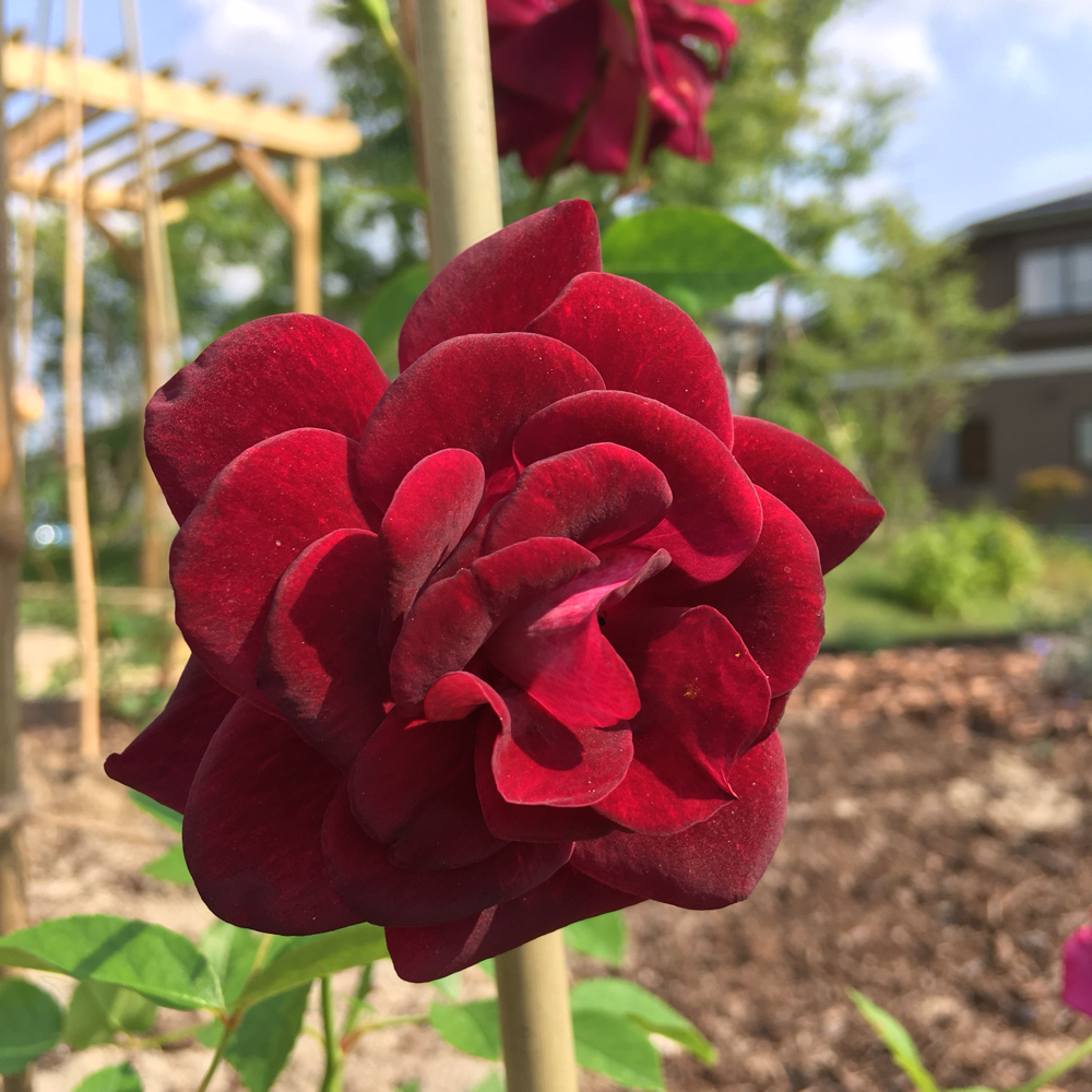 ベルベットのようなアイスバーグ。香りがよい四季咲きのバラ。