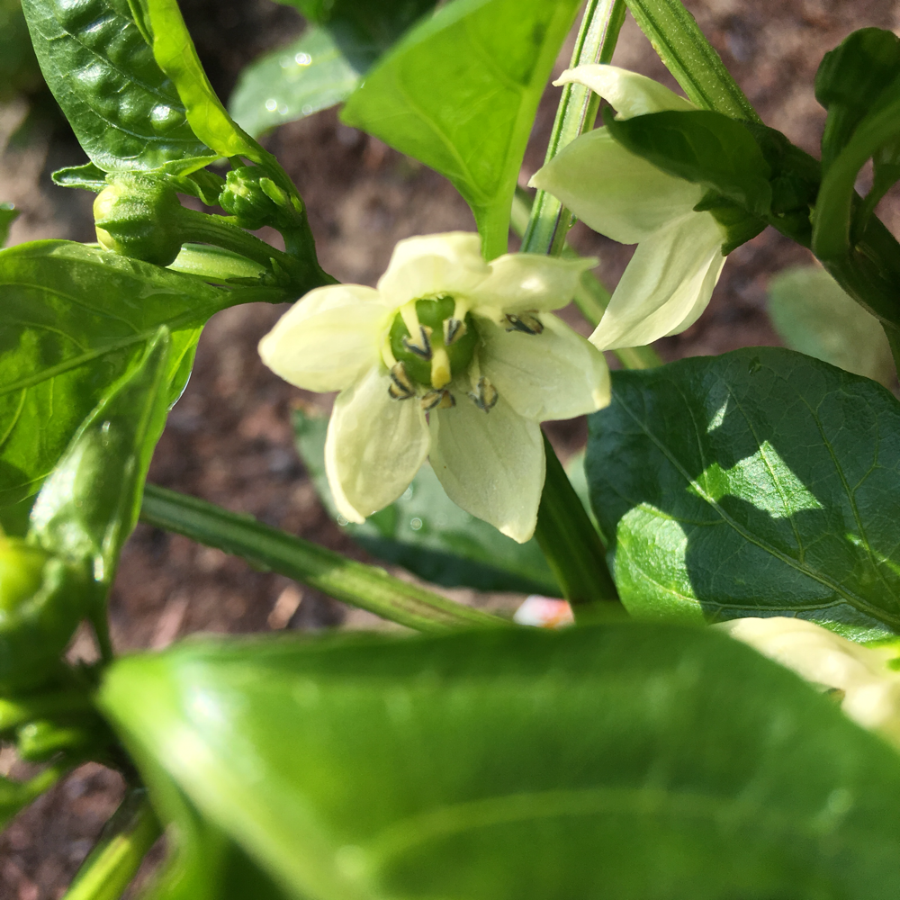 夏野菜も作ります。パプリカ