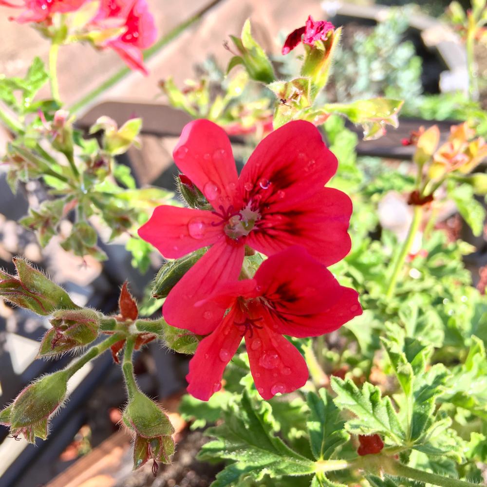 こちらは鮮やかな赤花のゼラニウム。