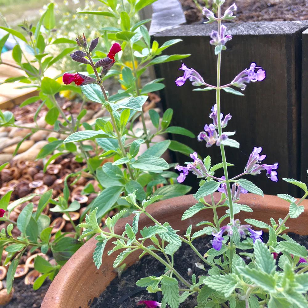 キャットミントは小さな葉と花が可愛らしい。