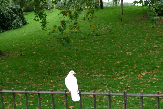 Dove on the Serpentine, London