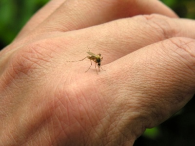 Mosquito picando (en Murcia)