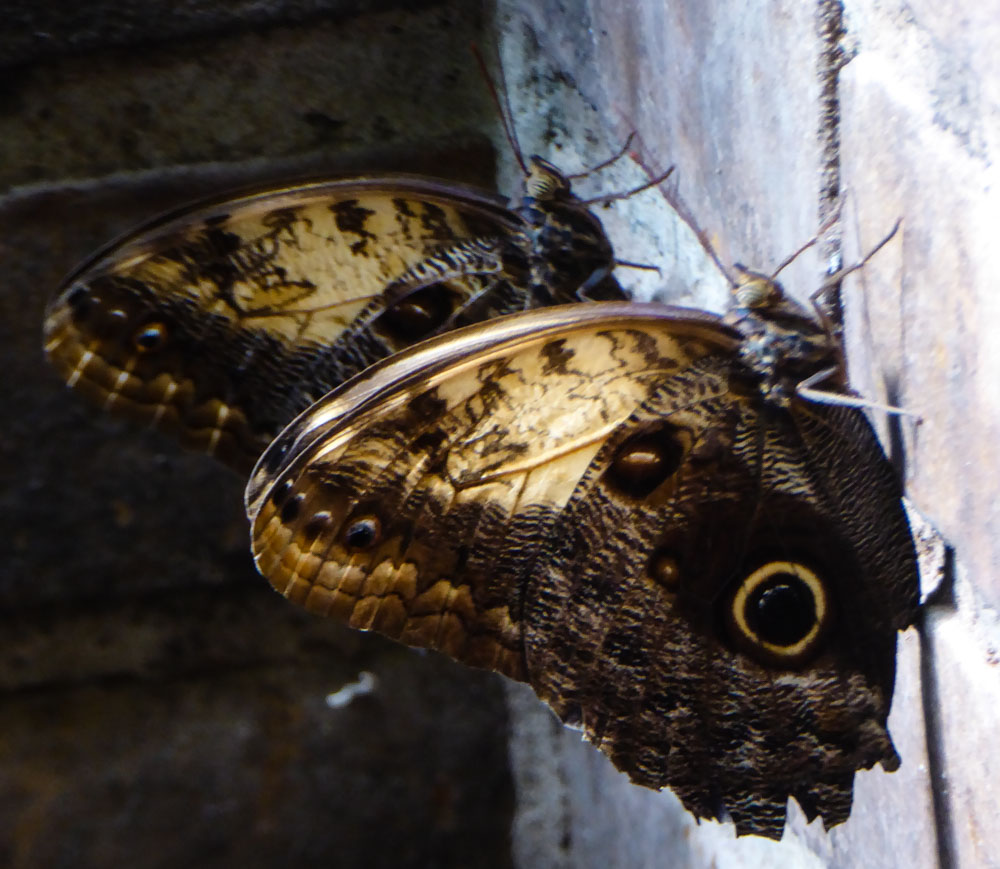 Große Schmetterlinge im Hortus Botanicus Leiden