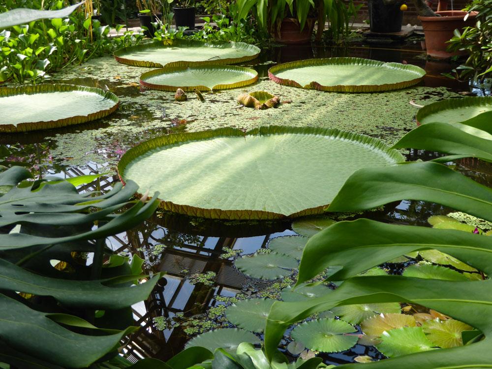 Amazonas-Riesenseerose im Hortus Botanicus Leiden