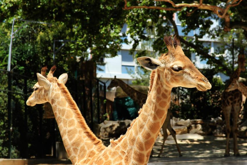Уникальный двухголовый жираф