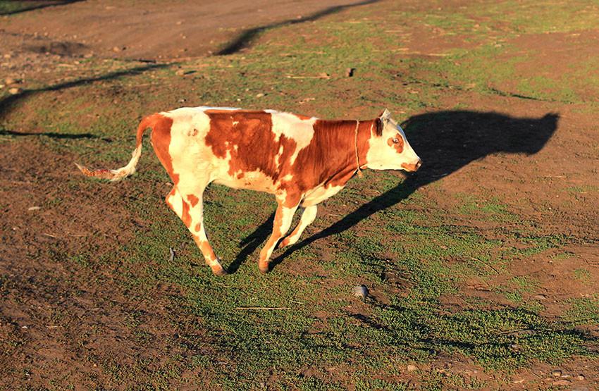 Корова-беглянка