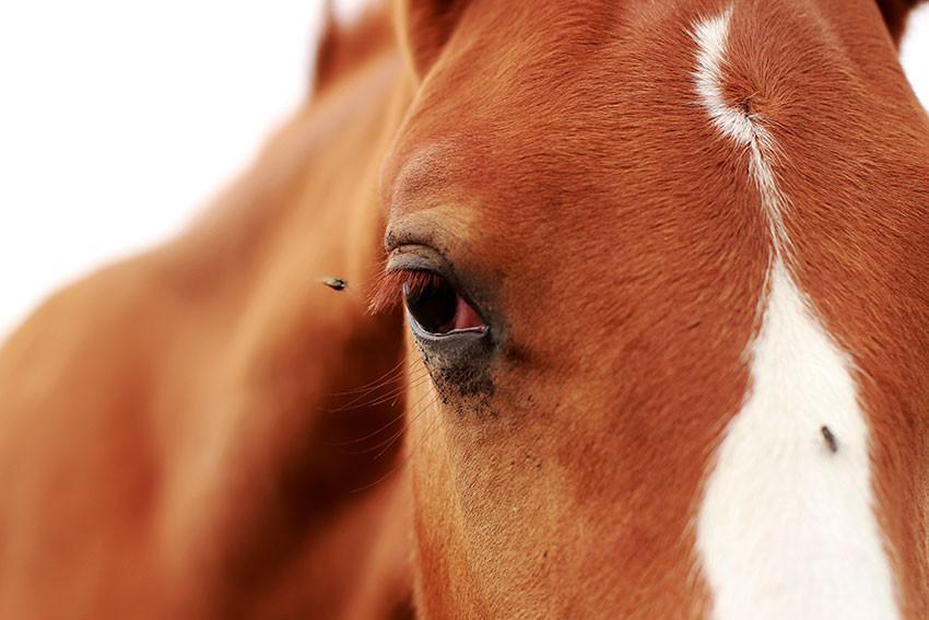 Лошадь и мухи